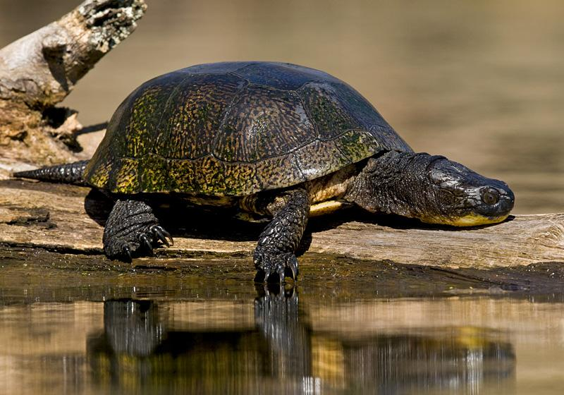 BEWARE THE ANGRY BLANDING TURTLE WEARING #5.